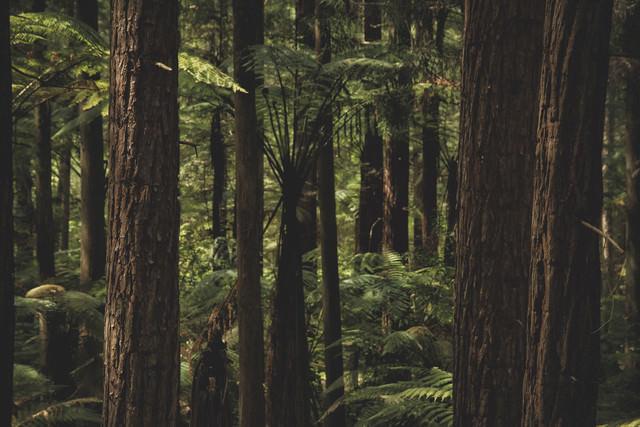 ニュージーランドの原生林が自生する森の写真