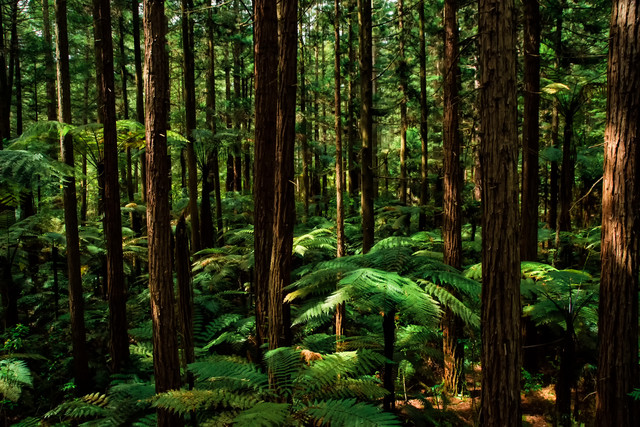 シルバーファーンに差す光とジャイアントセコイアの森(ニュージーランド)の写真