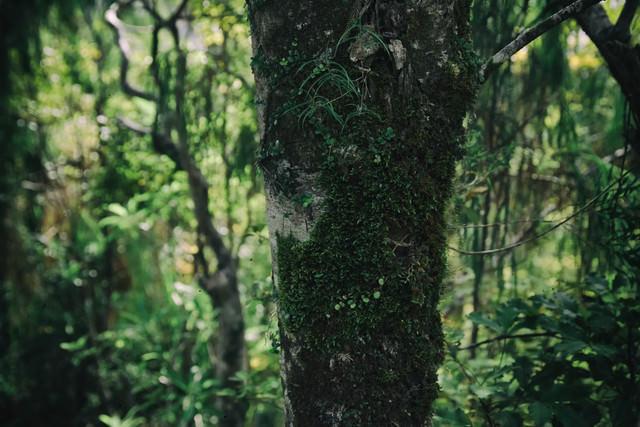 ニュージーランドの原生林に生える苔の写真