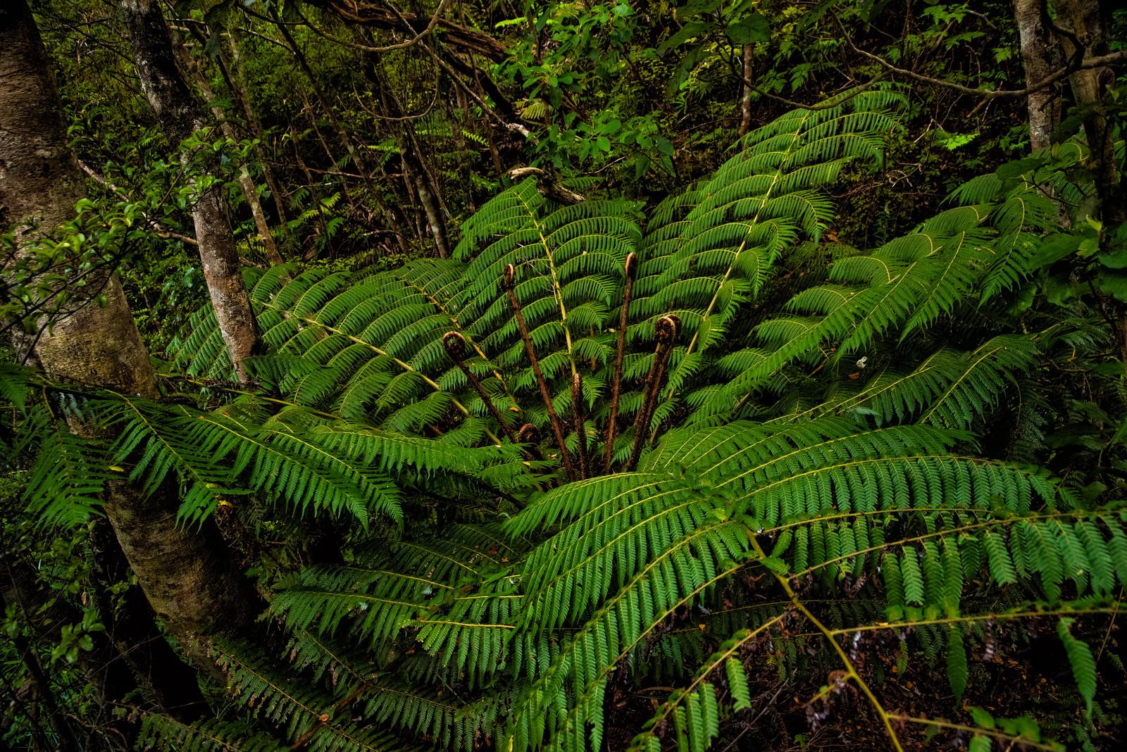 「ニュージーランド原産のシルバーファーン(シダ植物)」の写真
