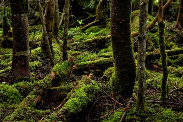 苔生す原生林の写真