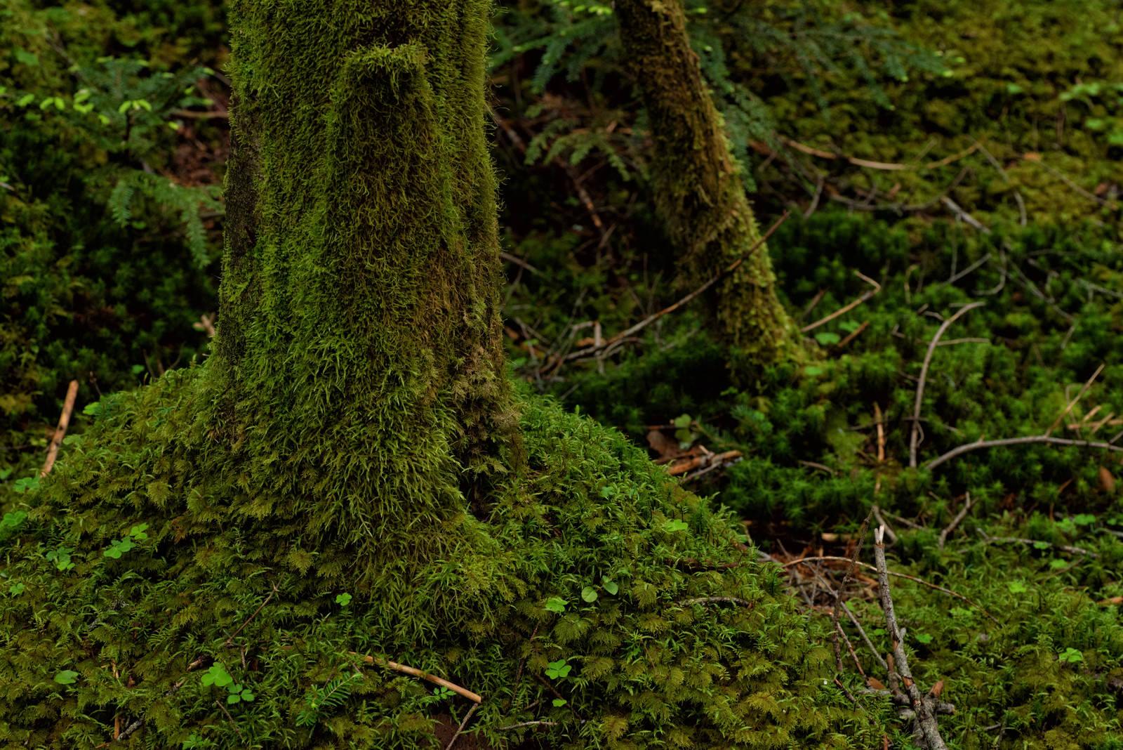 「苔生した木々と地面」の写真