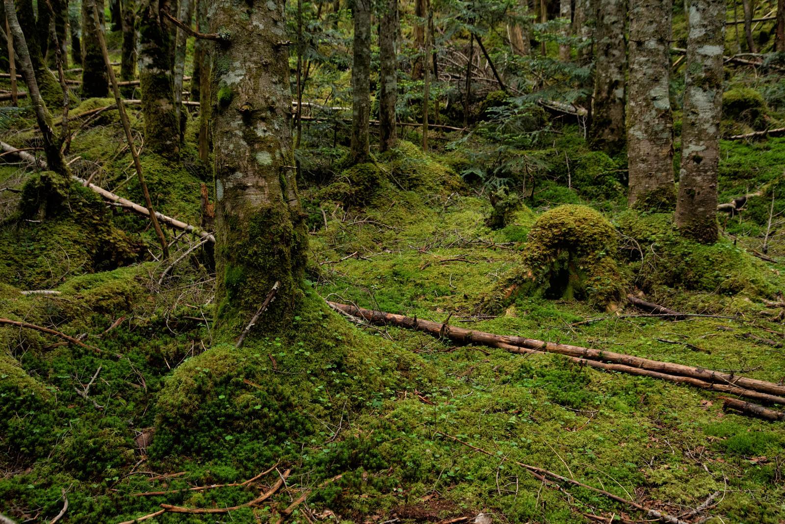 「森の木々を侵食していく苔」の写真