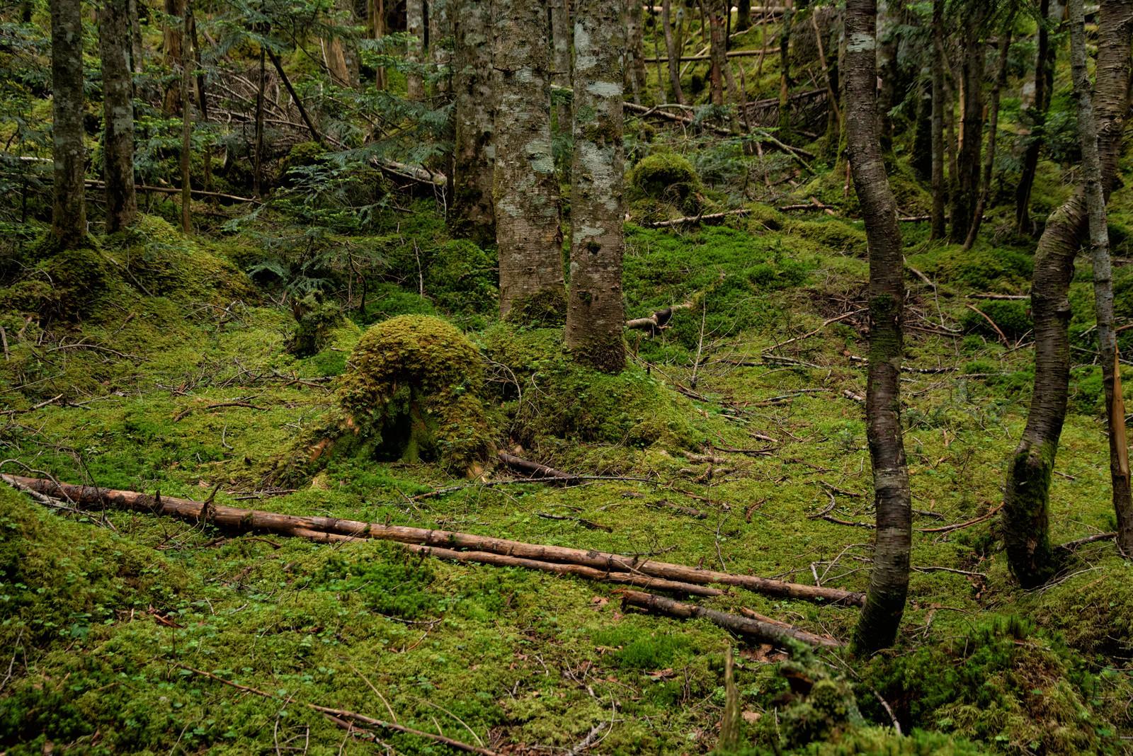 「苔生した大地と木々」の写真