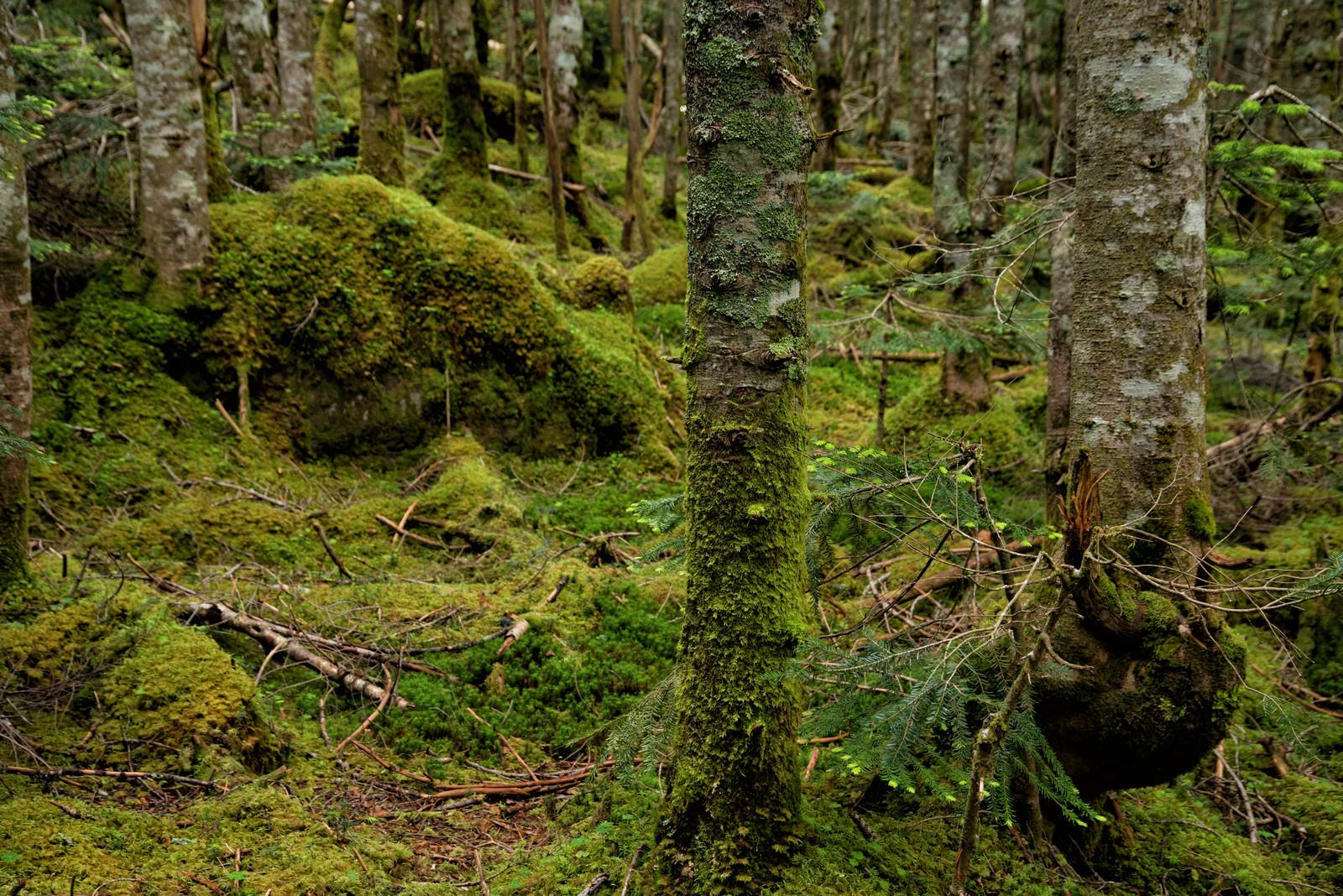 「苔生した森の中の木々」の写真
