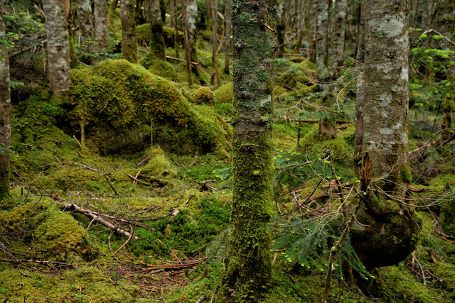 苔生した森の中の木々の写真