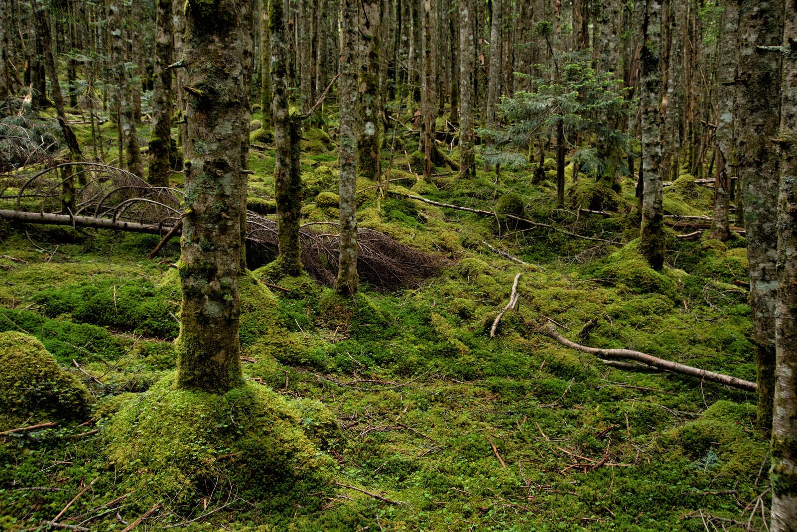 「苔生す大地とどこまでも続く森」の写真