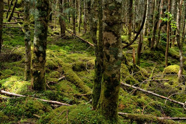 原生林の苔生す木々の写真
