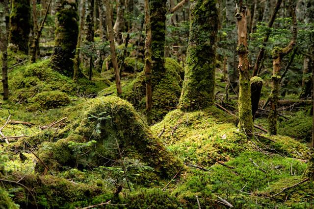 森の中に自生する苔の大地の写真
