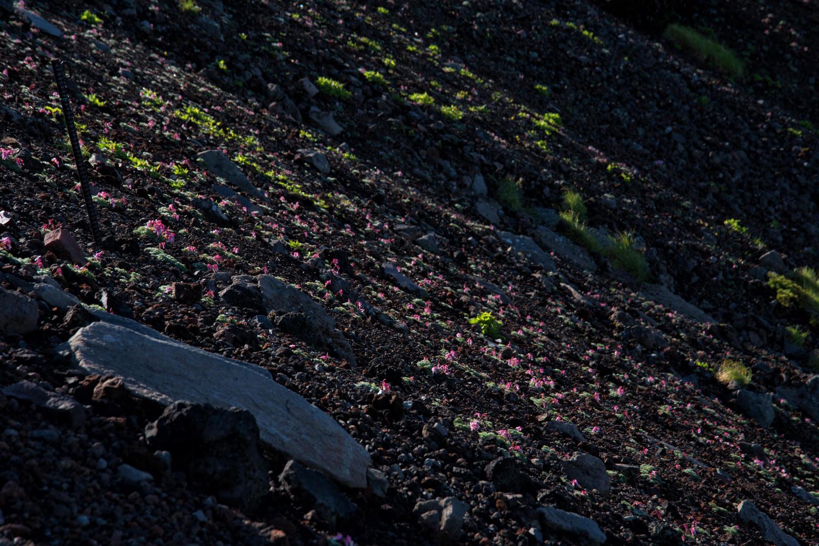 「駒草の群生(コマクサ)」の写真