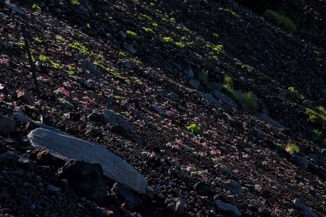 駒草の群生(コマクサ)の写真