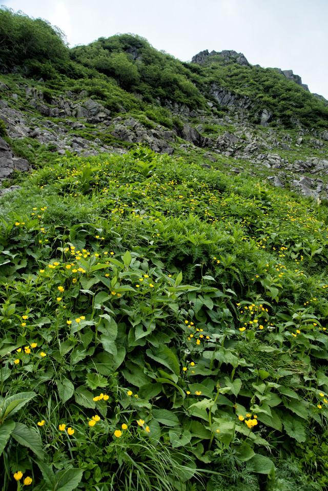 ミヤマキンポウゲの群生地の写真