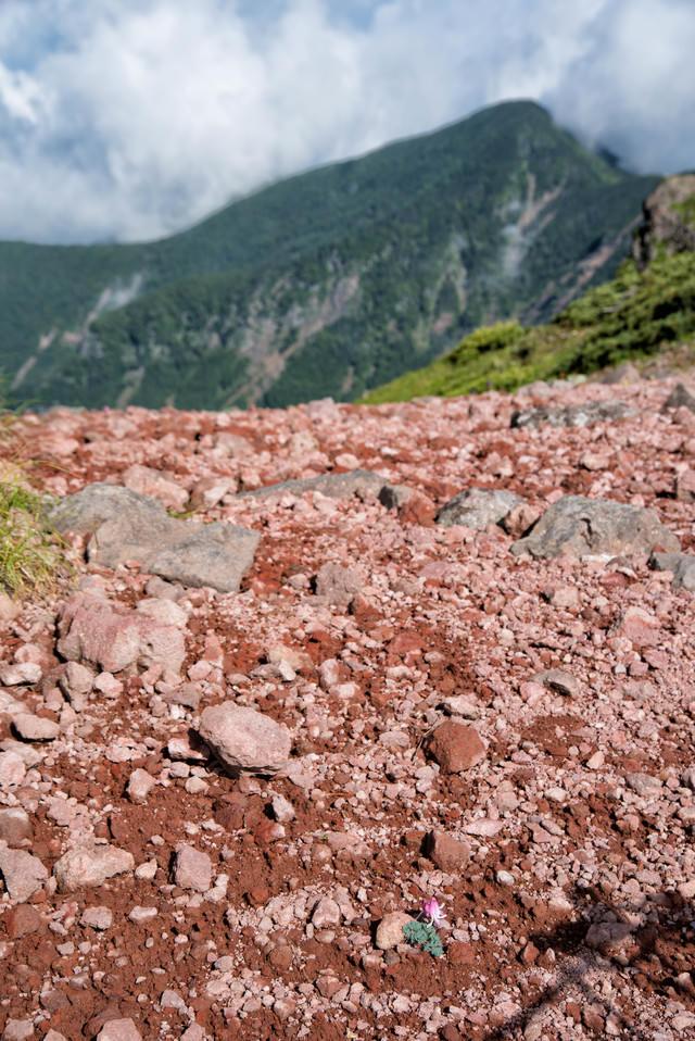 登山道にぽつんと咲くコマクサの花(登山中は踏まないように気をつけましょう)の写真