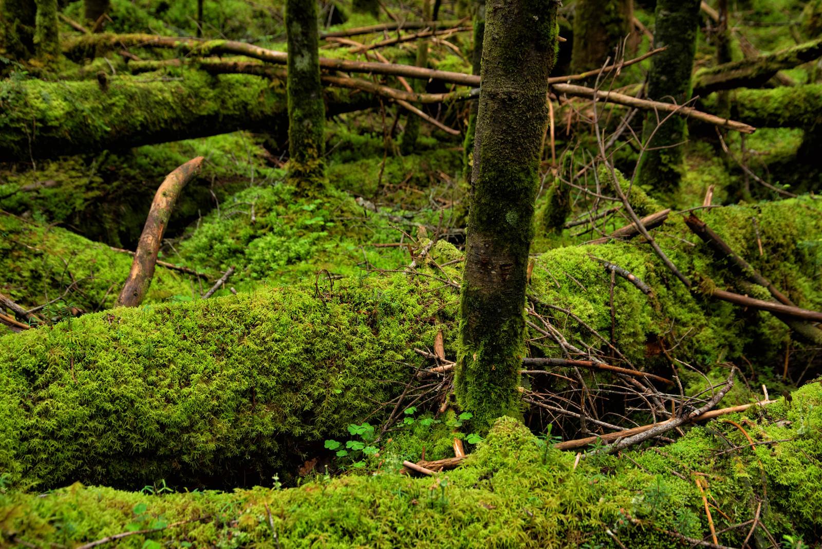 「倒木に密生する苔」の写真