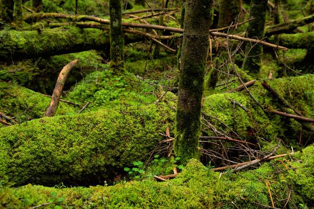 倒木に密生する苔の写真