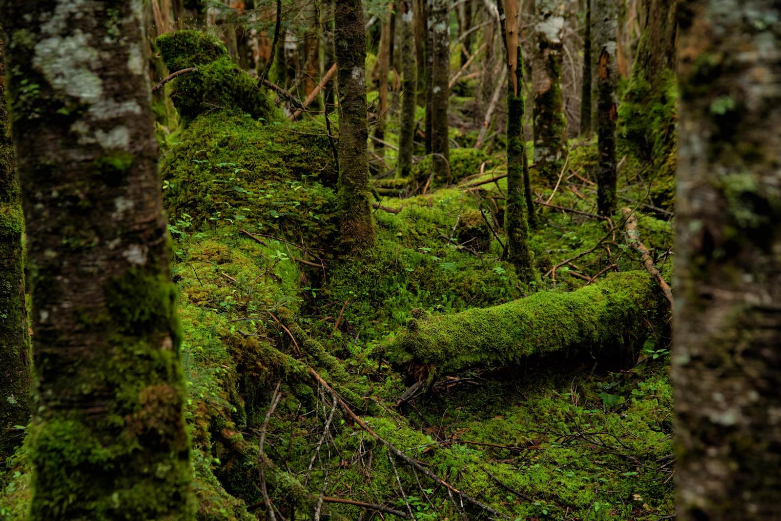 「倒木を覆い隠す苔」の写真