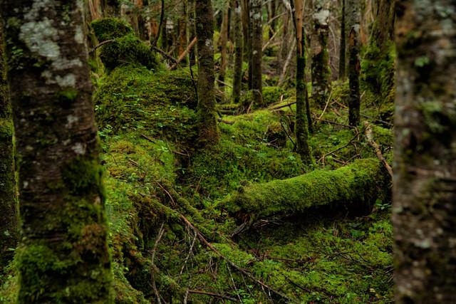 倒木を覆い隠す苔の写真