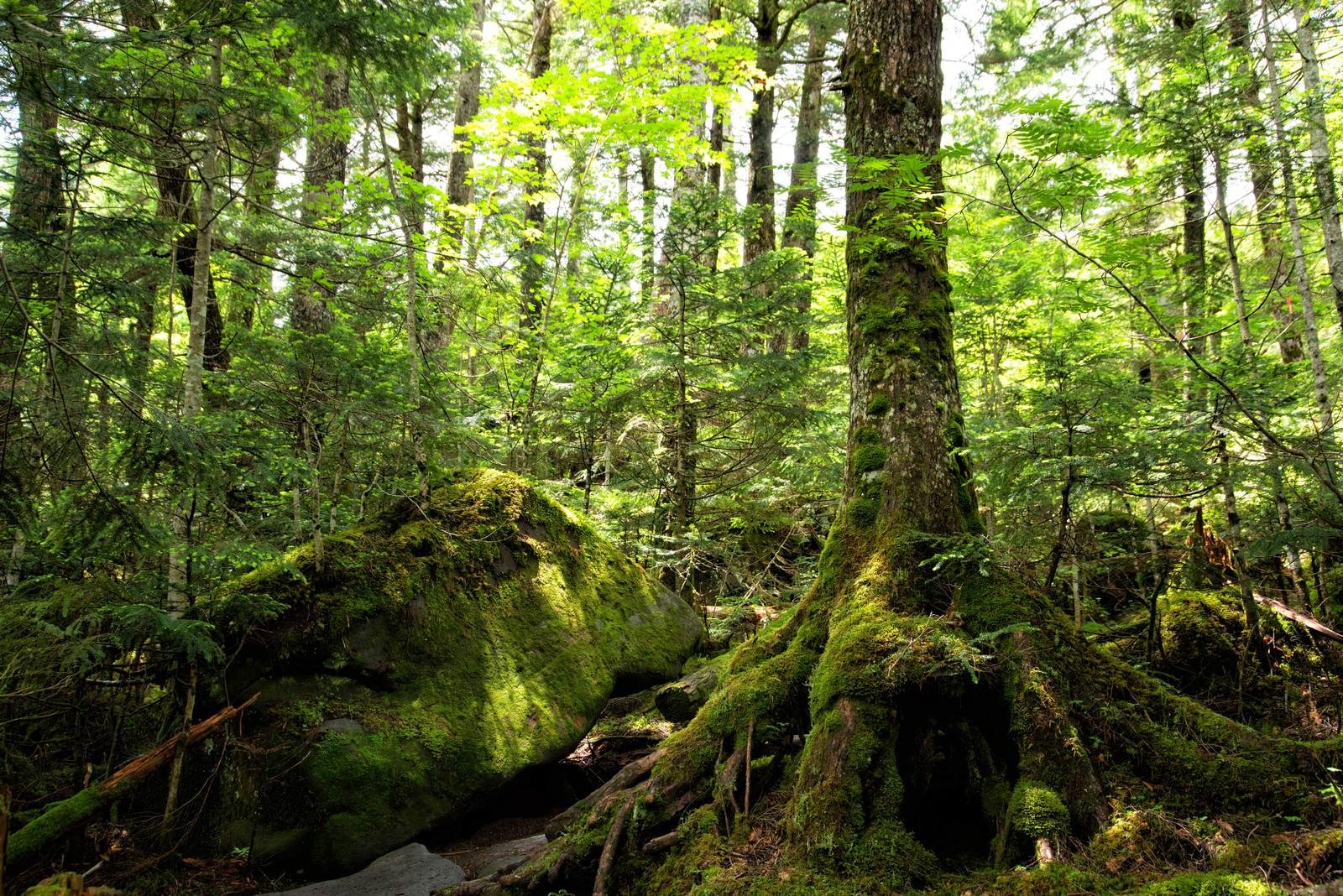 「苔に覆われた北八ヶ岳の森に差し込む光(八ヶ岳連峰)」の写真