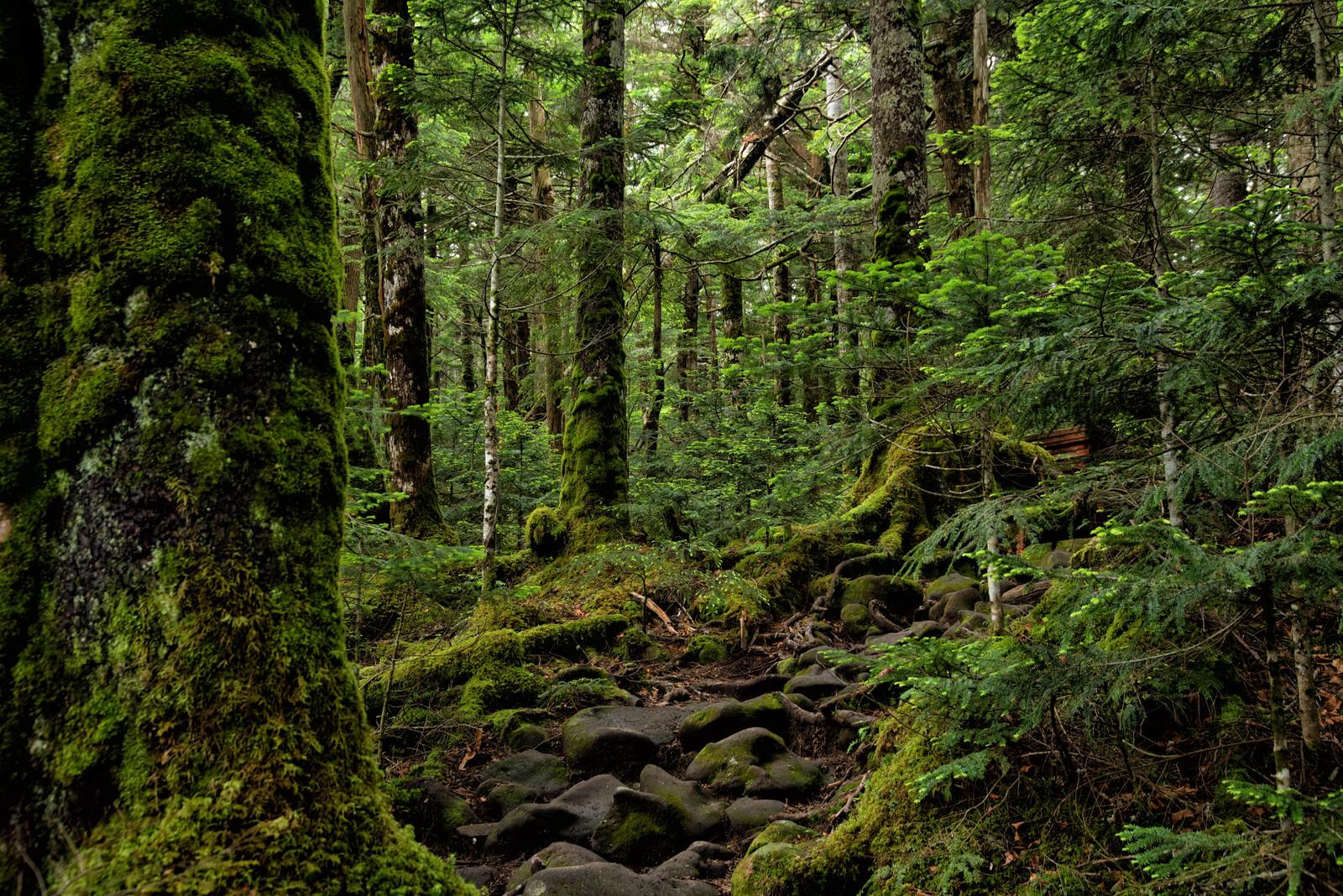 「北八ヶ岳の原生林を抜ける苔生す登山道(八ヶ岳連峰)」の写真