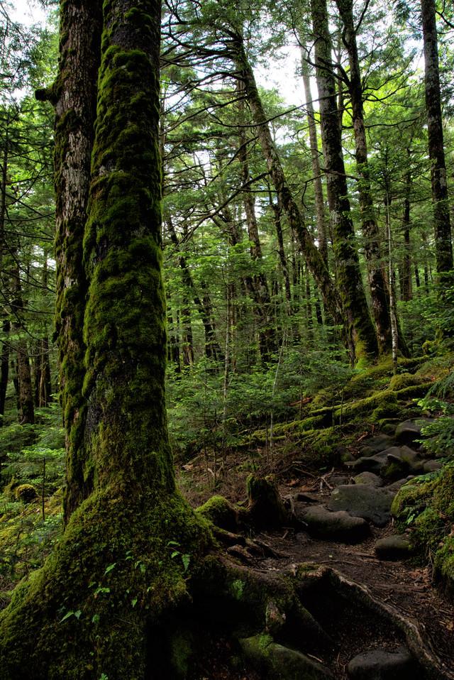 北八ヶ岳の原生林を抜ける石の登山道(八ヶ岳連峰)の写真