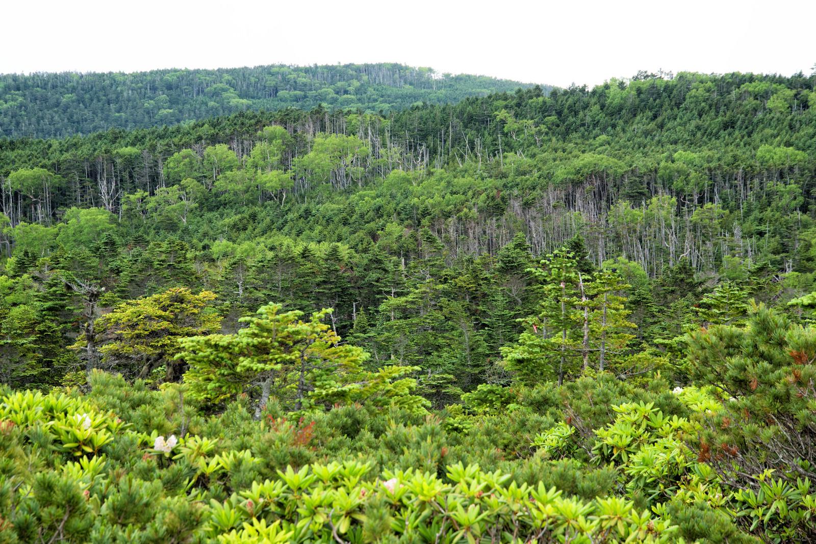 「どこまでも続く北八ヶ岳の森(八ヶ岳連峰)」の写真