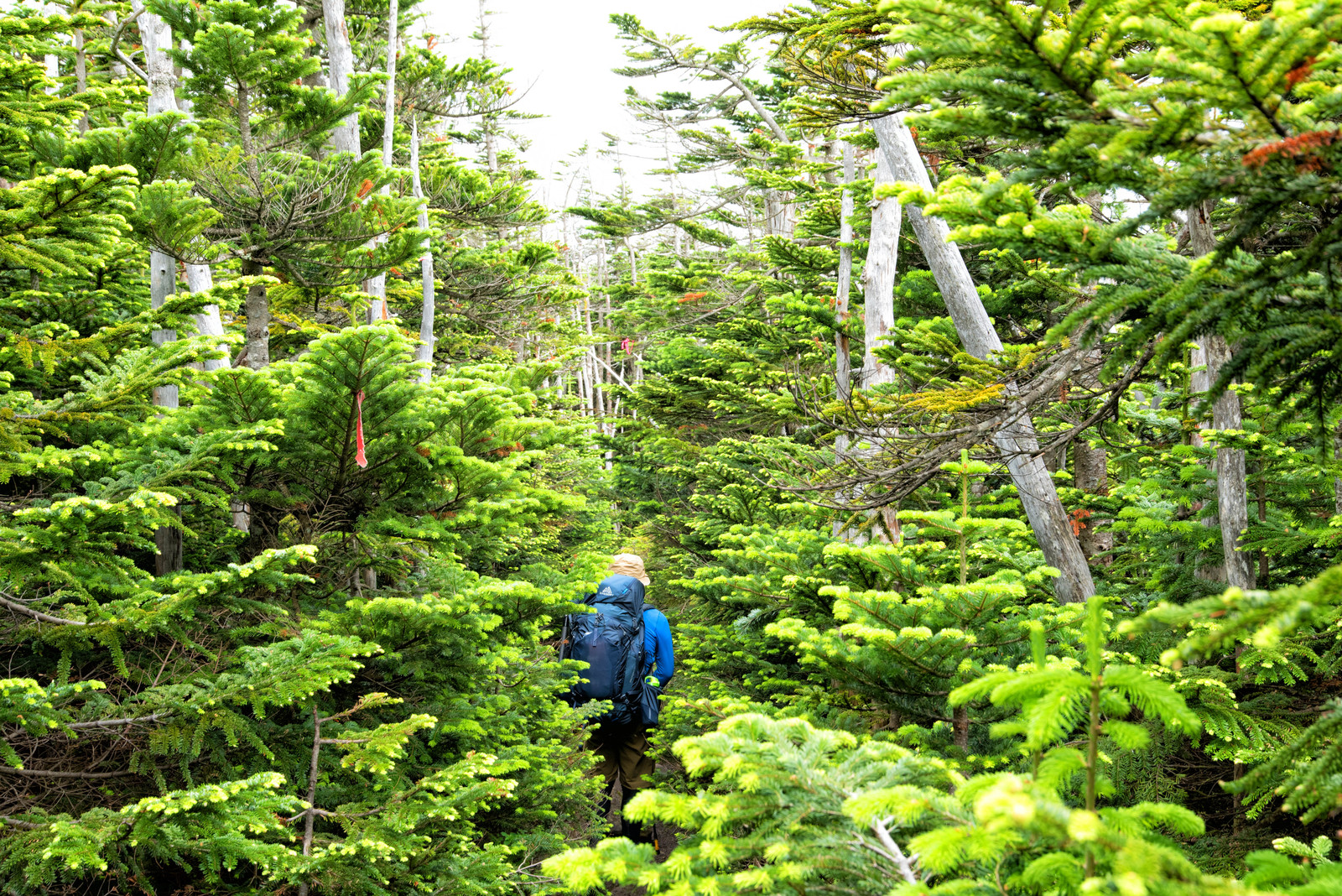 「北八ヶ岳の森を歩く登山者(八ヶ岳連峰)」の写真