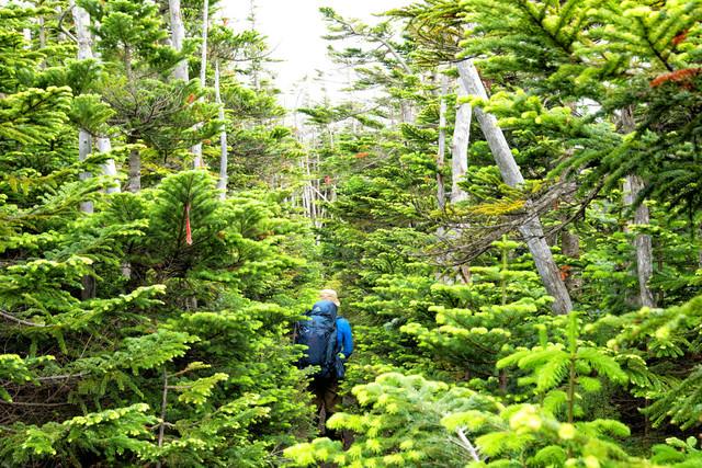 北八ヶ岳の森を歩く登山者(八ヶ岳連峰)の写真
