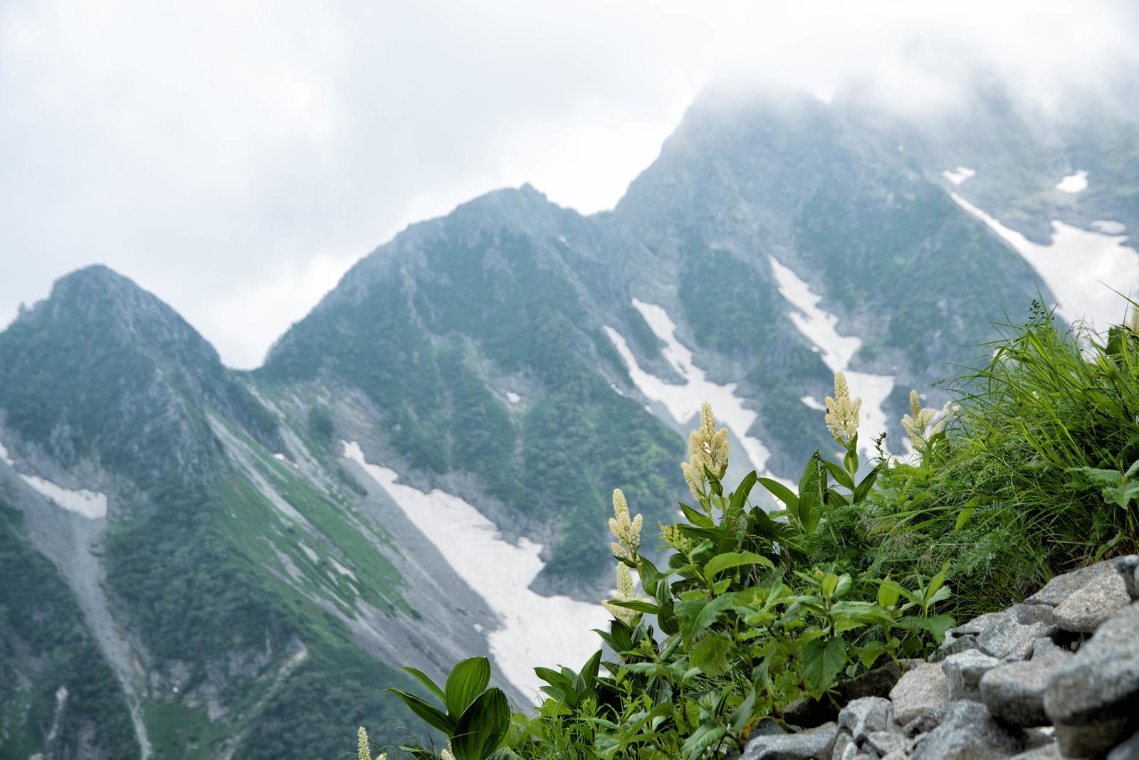 「北穂高岳に咲く高山植物(コバイケイソウ)」の写真