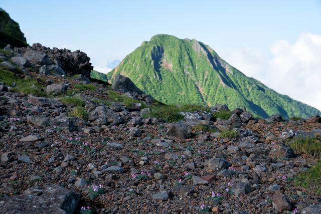 南八ヶ岳の砂礫地に咲く高山植物の女王(コマクサ)の群生の写真