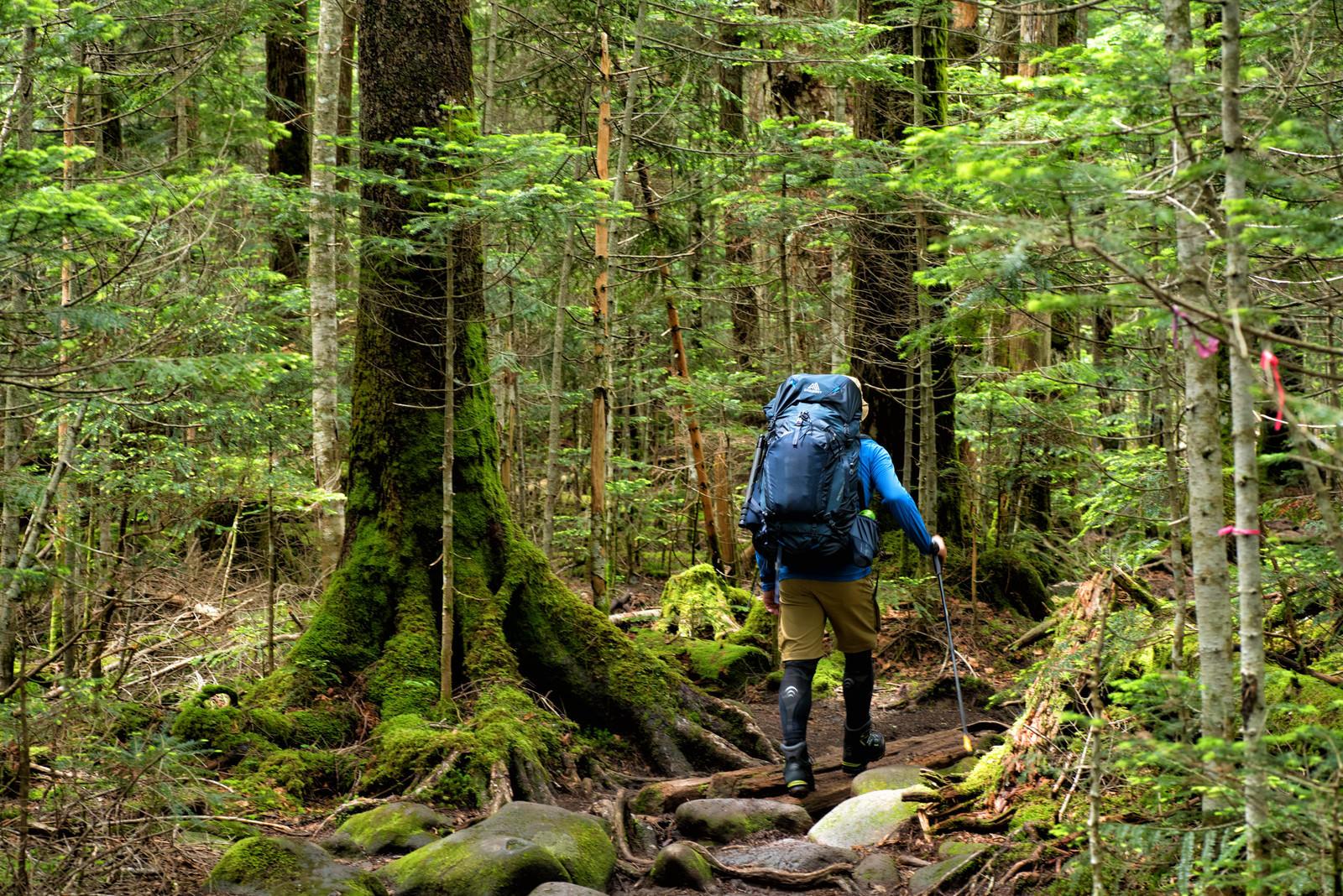 「足元の悪い原生林を歩く登山者」の写真