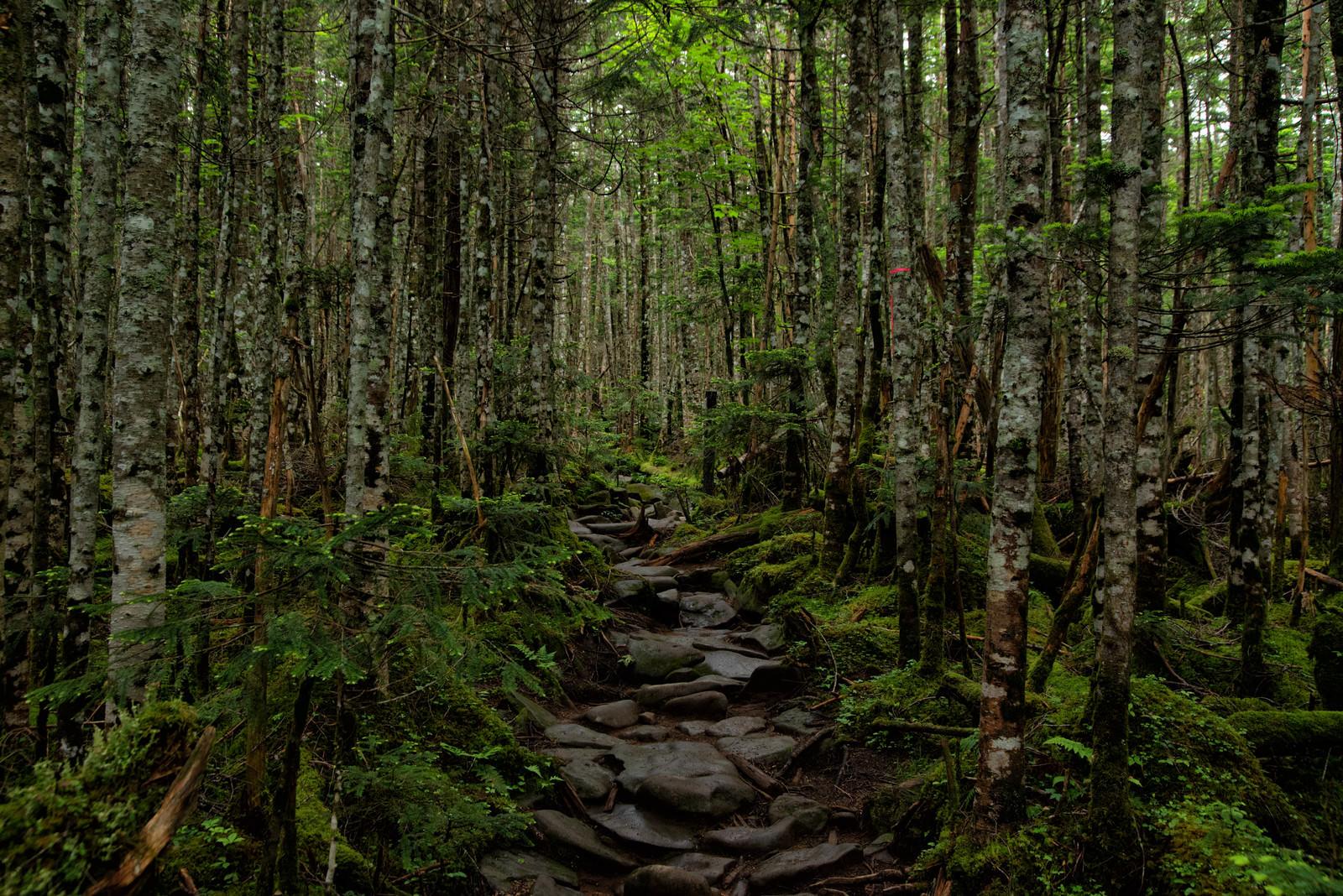 「苔生す原生林の石の登山道」の写真