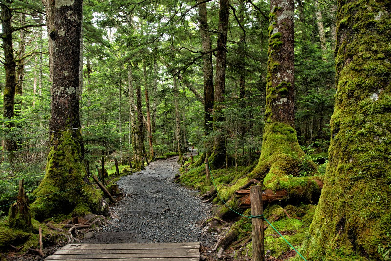 「苔生す原生林を貫く遊歩道」の写真
