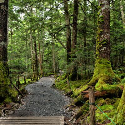 苔生す原生林を貫く遊歩道の写真