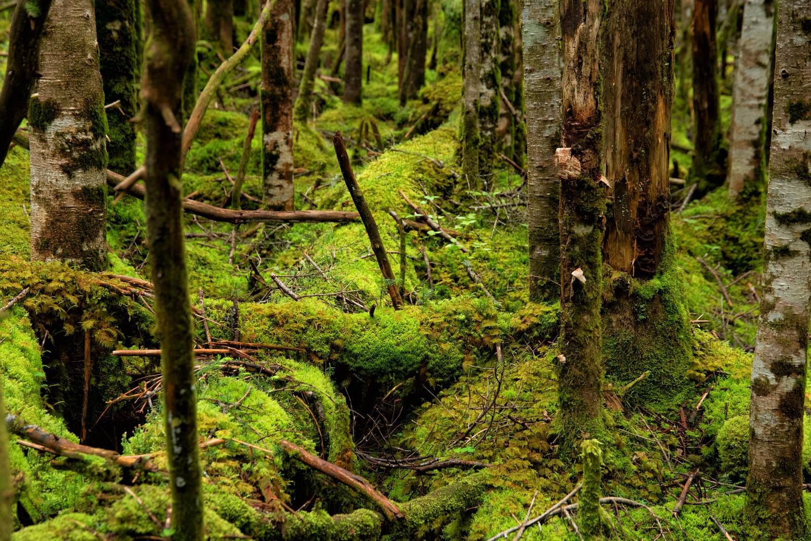 「地面を覆い隠すほどに群生する苔」の写真