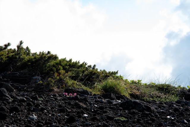 砂礫地に息吹く高山植物の女王(コマクサ)の写真