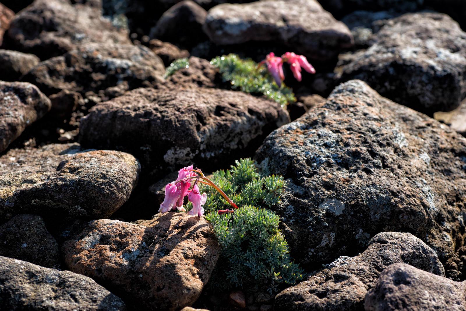 「岩間に咲く高山植物(コマクサ)」の写真