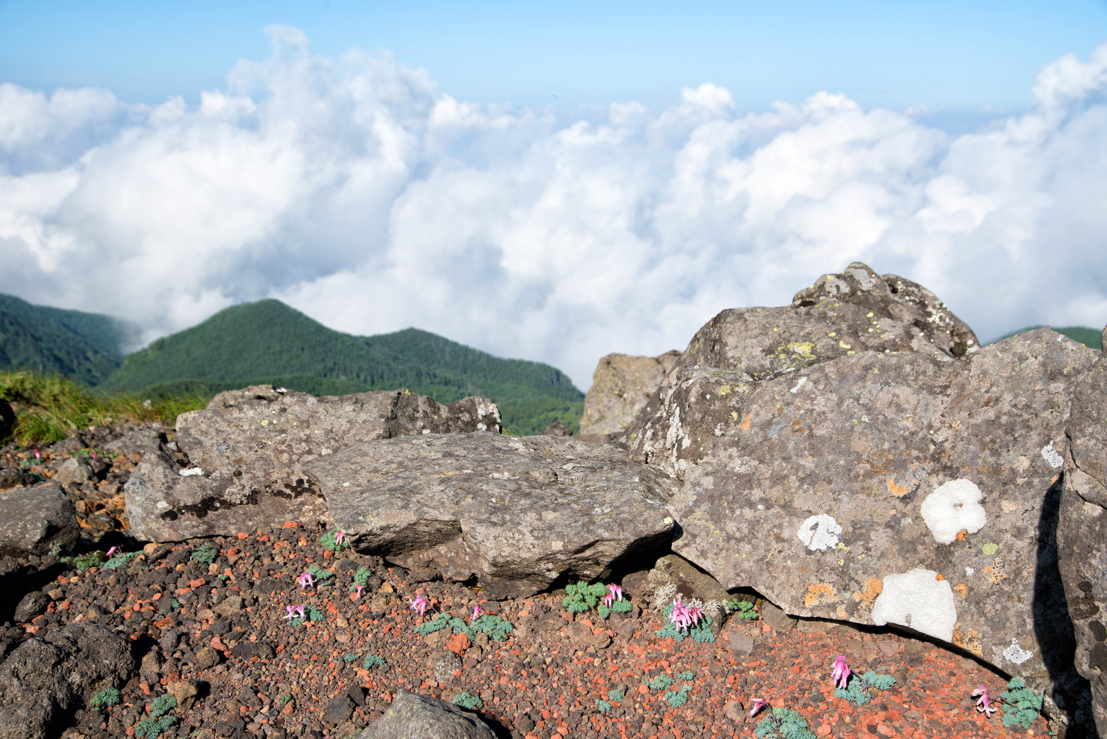 「岩陰に咲くコマクサ」の写真