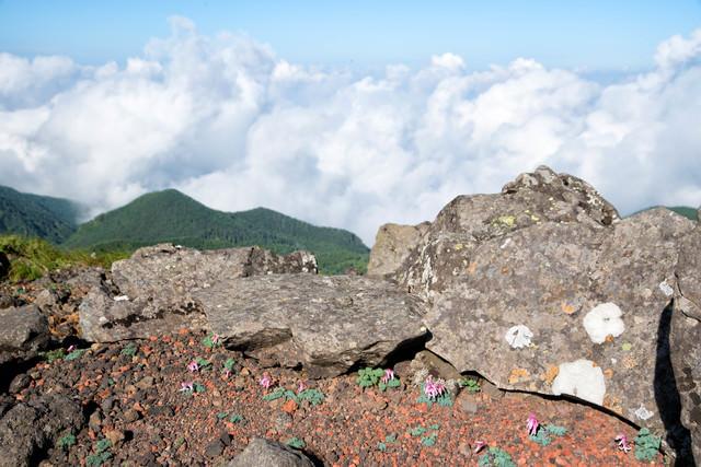 岩陰に咲くコマクサの写真