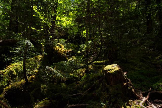 原生林を照らす光の写真