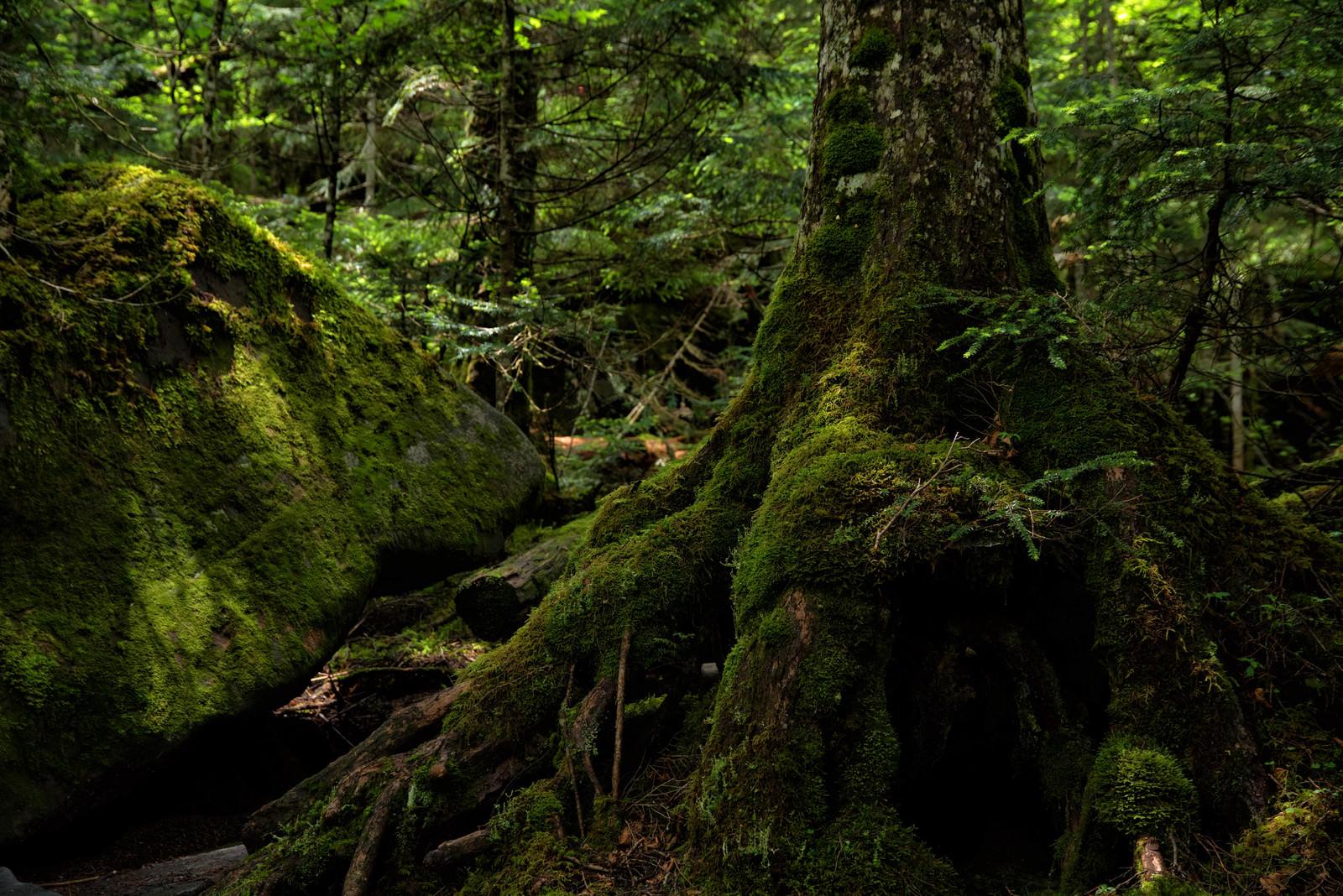 「木の根と石に覆い尽くす苔」の写真