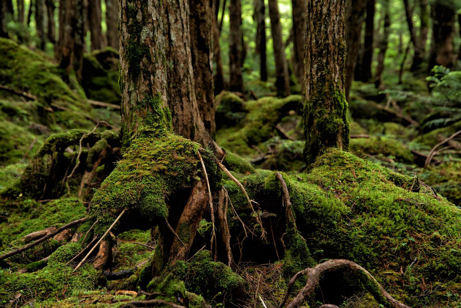 「木の根を覆う苔」の写真
