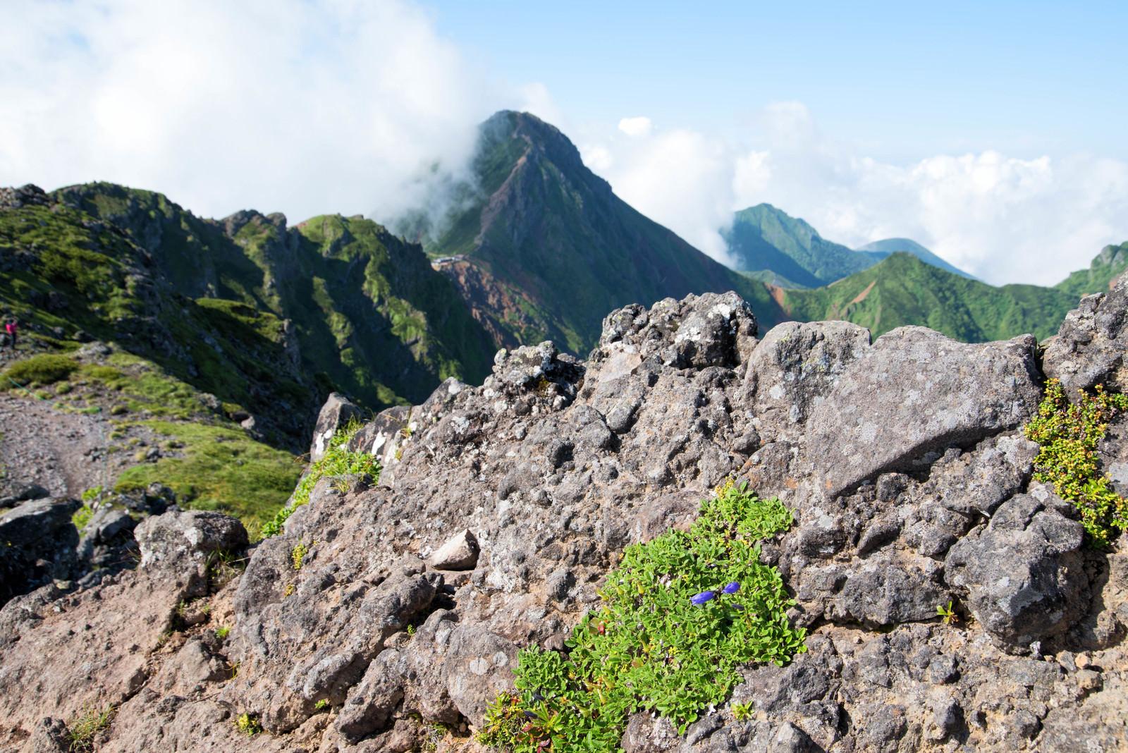 「横岳の岩場に咲く高山植物」の写真