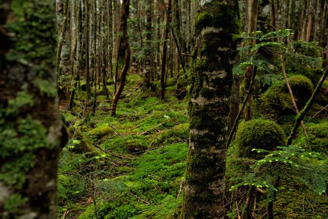 原生林の樹皮に張り付く苔 の写真