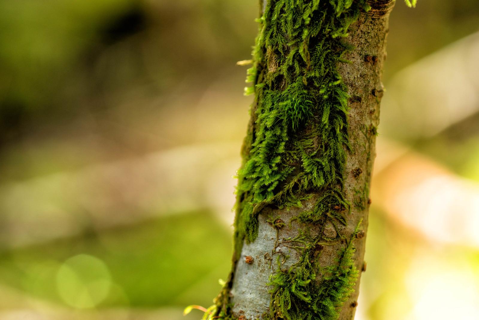 「樹皮で自生する苔」の写真