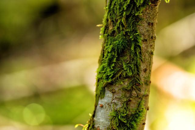 樹皮で自生する苔の写真