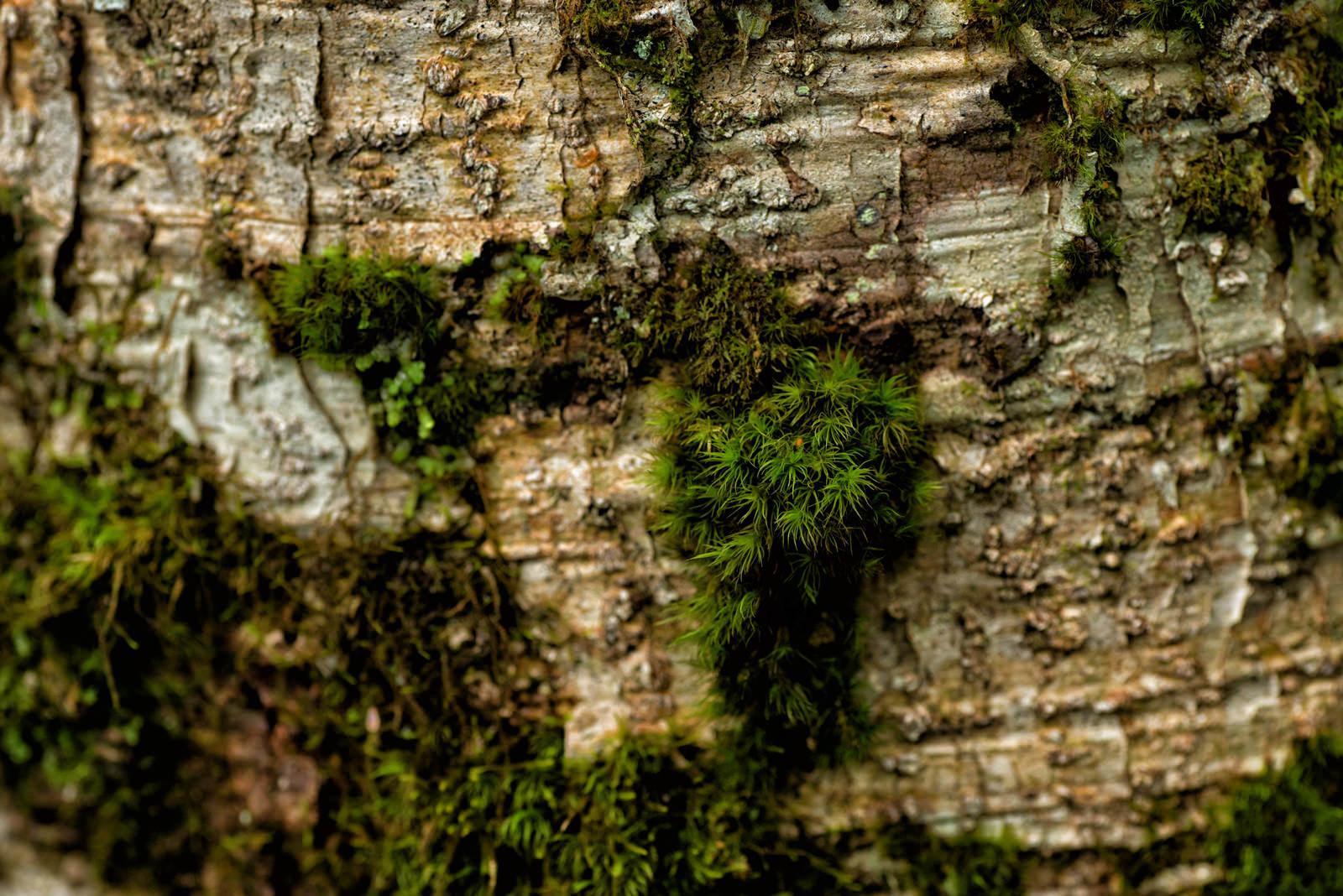 「樹皮に生える苔」の写真