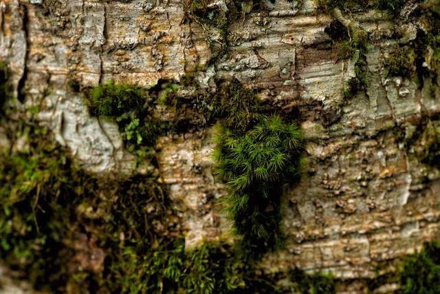 樹皮に生える苔の写真