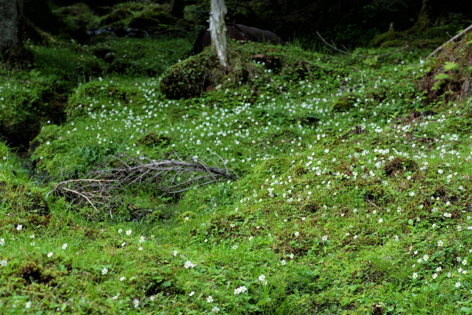 「苔生す大地に生い茂る白い花」の写真