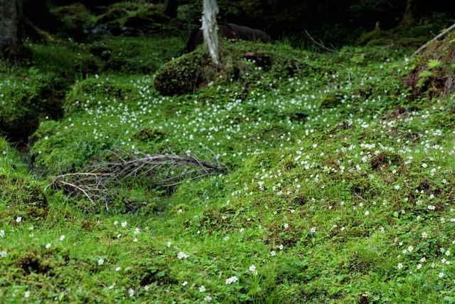 苔生す大地に生い茂る白い花の写真