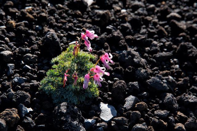 砂礫地に開花するコマクサ(高山植物)の写真